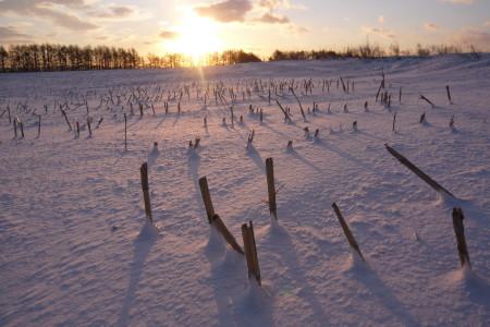 冬のトウモロコシ畑